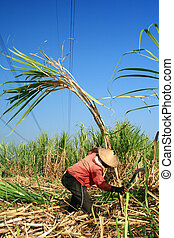 Sugarcane farmer - Man harvesting the sugarcane crop