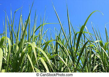 sugarcane field closeup - Green sugar cane leaves