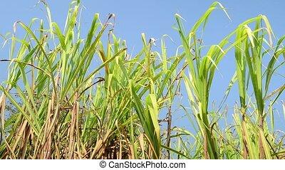 Sugarcane field, India, southeast, Asia. - Sugarcane, ...