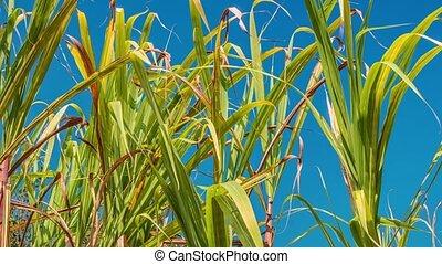 Sugarcane field, India, southeast, Asia. - Sugarcane,...