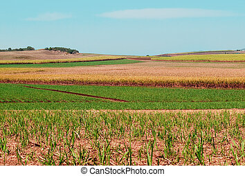 Sugarcane fields for Australian agriculture under cultivation
