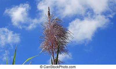sugarcane flower - close-up of sugar cane flower against...