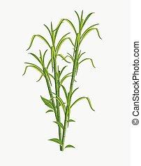 sugarcane, fris, vector