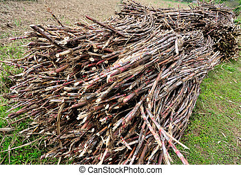 Sugarcane harvest