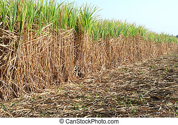 Sugarcane in countryside of Thailand.