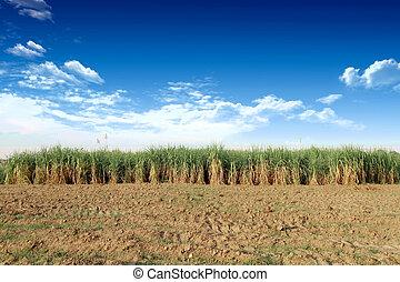 Sugarcane in Thailand
