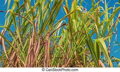 sugarcane, india, akker, zuidoosten, asia.