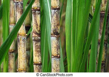 sugarcane, nära, växt, uppe