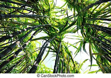 sugarcane, plantas, crescendo, campo