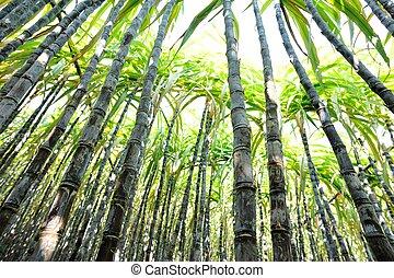 sugarcane, plantas, crescer, campo