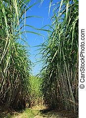 Sugarcane plantation - Field of sugar cane