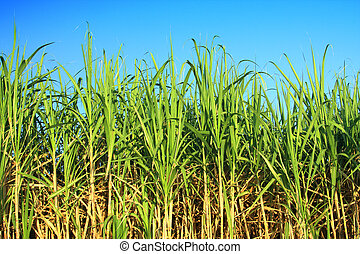 sugarcane plantation - sugar cane plantation
