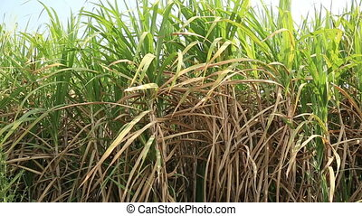 sugarcane plants in field