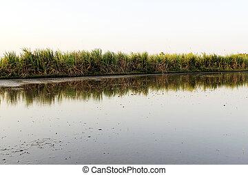 sugarcane, pole, dorośnięty, rusztowanie