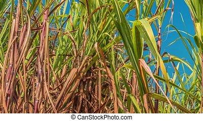 sugarcane, pole, indie, asia., południowo-wschodni