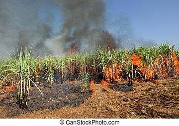 sugarcane, tailandia, fogo