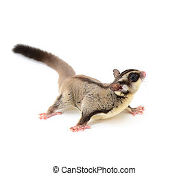 Sugarglider isolated on white