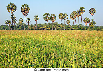 Sugarpalm paddy - Paddy field in Thailand lined by sugarpalm...