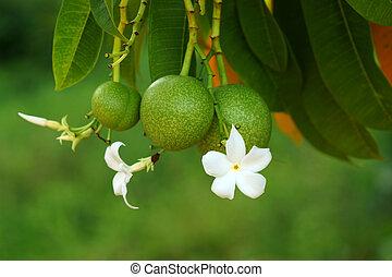 Suicide tree (Cerbera odollam) - Suicide tree (Cerbera...