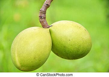 Suicide tree, Pong-pong, Othalanga. Cerbera odollam tropical plant