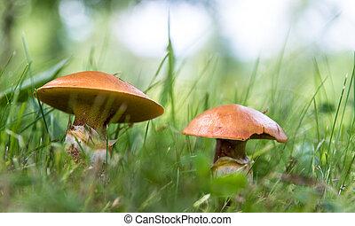 suillus, comestível, cima, cogumelos, fim, capim