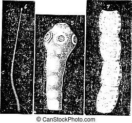 suina, taenia, vindima, tapeworm, solium, ou, engraving.