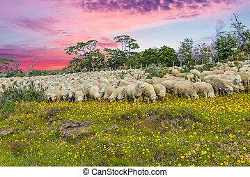 Suinset over herd of sheep  in Tierra del Fuego