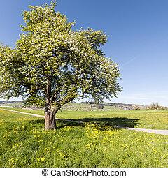 suisse, arbre fleurissant