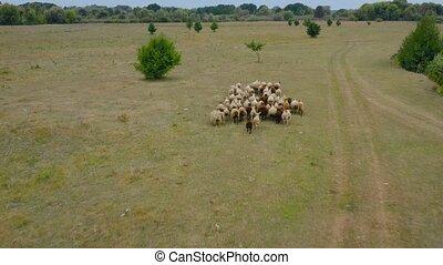 suivre, courant, sheeps, vue, pasture., troupeau, aérien, sheep., bourdon
