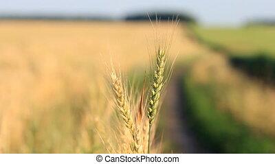 suivre, vent, -, blé, foyer