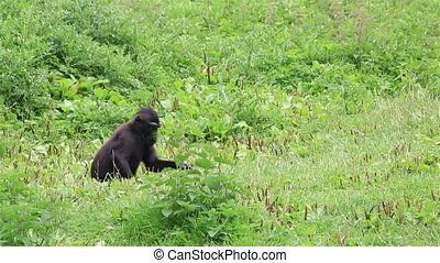 Sulawesi crested macaque eating grass. Republic of Ireland.