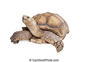 Sulcata Tortoise Looking Up on White - Giant Sulcata...
