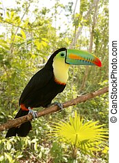 sulfuratus, kee, toucan, jungle, billed, tamphastos
