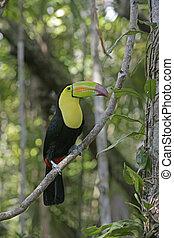 sulfuratus, keel-billed toucan, ramphastos