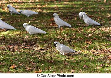 Sulphur crested Cockatoo birds on the ground