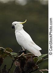 Sulphur-crested Cockatoo (Cacatua galerita) sittting on a ...
