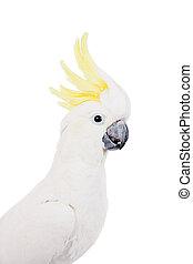 Sulphur-crested Cockatoo, Cacatua galerita, isolated over white background