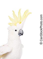 Sulphur-crested Cockatoo, isolated on white - Sulphur-...