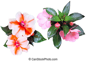 Sultana Flower Collection - Collection of Sultana Balsam...