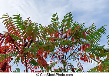 Sumac branches with bright varicolored autumn leaves against the sky