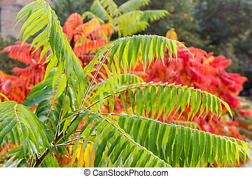 Sumac branches with bright varicolored autumn leaves
