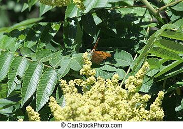 sumac, staghorn, (flowering)