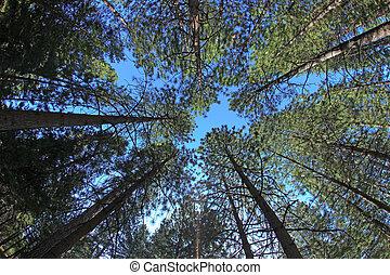 sumamente, alto, árboles de pino, en, naturaleza