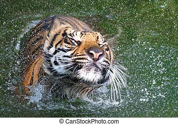 sumatran, itself, tiger, 乾きなさい, 動揺