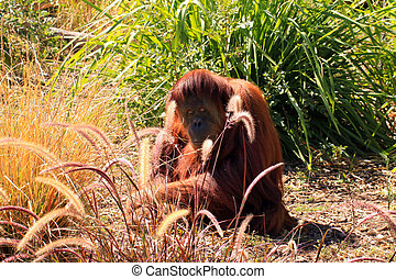 Sumatran Orangutan camouflaged by grasses. Adelaide Zoo,...