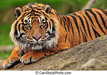 Sumatran tiger - Beautiful sumatran tiger crouching on a...