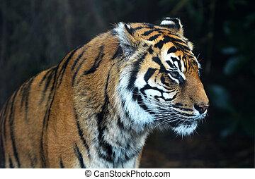 Sumatran tiger face looking away