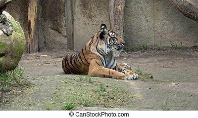 Sumatran tiger (Panthera tigris sondaica) resting