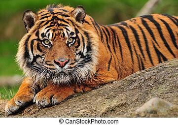 Sumatran tiger - Beautiful sumatran tiger crouching on a...