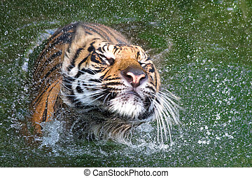 A photo of a Sumatran tiger playing in the water. At this point it was shaking itself dry. It is hard not to underestimate the power of these animals, but doing something as simple as drying itself the raw power is hard to miss.